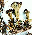 Cladonia sobolescens-9.jpg