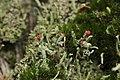 Cladonia sp. (37666953264).jpg