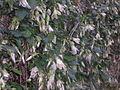 Clematis cirrhosa.jpg