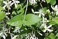 Clematis terniflora (leaf s2).jpg