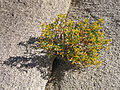 Cliff goldenbush (Ericameria cuneata); Wonderland of Rocks.jpg