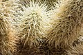 Close up of Cholla Cactus in the cholla cactus garden (19904217641).jpg