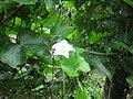 Coccinia grandis - കോവൽ, കോവയ്ക്ക.jpg
