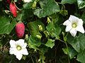 Coccinia grandis fruit.jpg