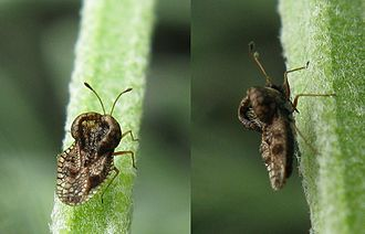 Tingidae - Adult specimen of a small (about 2 mm) species of lace bug on Lavandula near Cape Town in South Africa: Left, dorsal view; right, lateral view, showing proboscis and dorsal protuberances.
