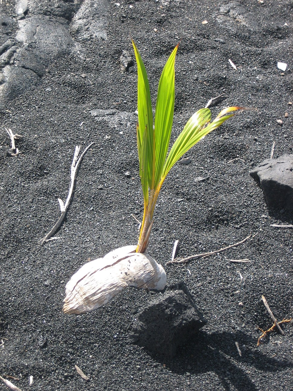 Coconut germinating on Black Sand Beach, Island of Hawaii