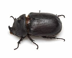Coconut rhinoceros beetle (24160223352).jpg