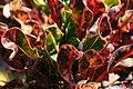 Codiaeum variegatum 10zz.jpg