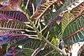 Codiaeum variegatum 16zz.jpg