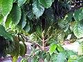 Coffea arabica 3zz.jpg