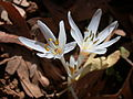 Colchicum antilibanoticum 2.jpg