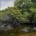 Collectie Nationaal Museum van Wereldculturen TM-20029674 Mangrove Bonaire Boy Lawson (Fotograaf).jpg