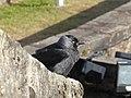Coloeus monedula Stirling Castle.jpg