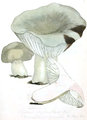Coloured Figures of English Fungi or Mushrooms - t. 36.png