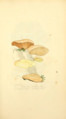 Coloured Figures of English Fungi or Mushrooms - t. 98.png