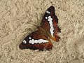Commander butterfly (Moduza procris).jpg