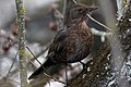 Common Blackbird (36676404720).jpg