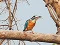 Common Kingfisher (Alcedo atthis)ചെറിയ മീൻകൊത്തി 3.jpg