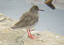 Common Redshank 01.JPG