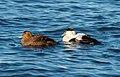 Common eider pair at Jones Beach (04523).jpg
