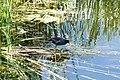 Common gallinule (20326963200).jpg