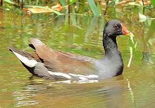 Common moorhen Species of bird