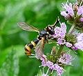 Conops quadrifasciatus. Female - Flickr - gailhampshire.jpg