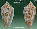 Conus armadillo2.jpg