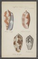 Conus tulipa - - Print - Iconographia Zoologica - Special Collections University of Amsterdam - UBAINV0274 085 10 0005.tif