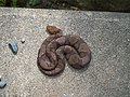Copperhead Snake.jpg