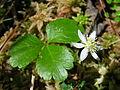 Coptis trifolia 1 (5097823706).jpg