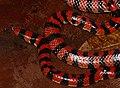 Coral Cylinder Snake (Anilius scytale) (38530583442).jpg