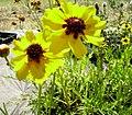 Coreopsis tinctoria var. atkinsoniana nursery plant.jpg