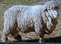 Cormo sheep.jpg