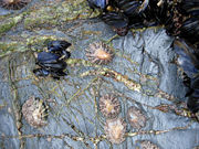 Limpets in the intertidal zone in Cornwall, England.