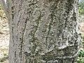 Cornus controversa1.jpg