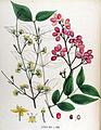 Cornus mas — Flora Batava — Volume v17.jpg