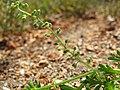 Coronopus didymum inflorescens (06).jpg