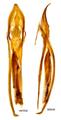 Corticaria fulva Comolli, 1837 male genital (15918495536).png