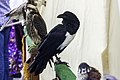 Corvus albus na Feira Franca.jpg