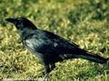 Corvus brachyrhynchos 1.jpg