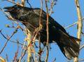 Corvus corax in Akureyri 5.jpeg