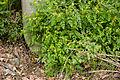 Corydalis pallida var. tenuis 01.jpg