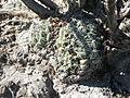 Coryphantha maiz-tablasensis (5710965466).jpg