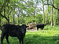 Cows trying to find some shade - geograph.org.uk - 451001.jpg