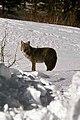 Coyote035 (26331180563).jpg