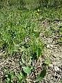 Crepis praemorsa sl35.jpg