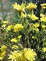 Crepis setosa inflorescence (20).jpg