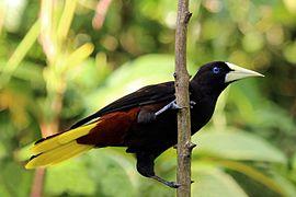 Crested oropendola on a branch