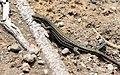 Cretan wall Lizard (Podarcis cretensis).jpg